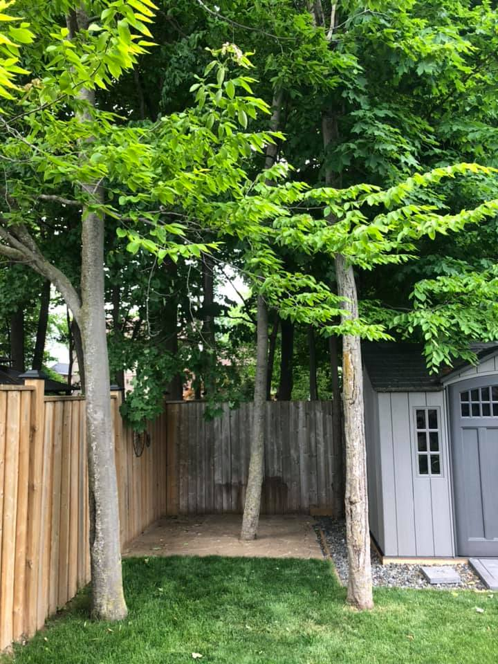 tree-lopping-before